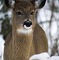Deer Portrait by Nebojsa Novakovic