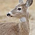 White Tail Deer Profile by Athena Mckinzie