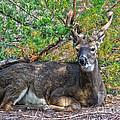 Deer Relaxing by Tom Gari Gallery-Three-Photography