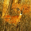 Deer Spotted In A Golden Glowing Field  by Gothicrow Images