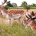Deer Standing Up by Ivan Guardino