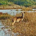 Deer The Point Hatteras Nc 2 12/5 by Mark Lemmon