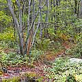 Deer Trail Early Autumn Pocono Mountains Pennsylvania by A Gurmankin