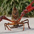 Defiant Crawfish by Kimo Fernandez
