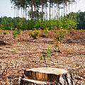 Woods Logging One Stump After Deforestation  by Arletta Cwalina