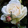 A Rose Of Delicate Beauty by Venetia Featherstone-Witty