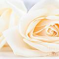 Delicate Beige Roses by Elena Elisseeva
