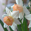 Delicate Daffodils  by K D Graves