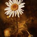Delicate Daisy by Venetta Archer