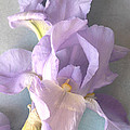 Delicate Dance Of The Iris Flower by Sharon Jogerst