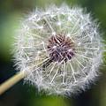 Delicate Dandelion by Tammy Harriss
