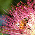 Delicate Embrace - Bee And Mimosa by Steven Milner