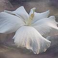 Delicate Hibiscus by Kelley Freel-Ebner