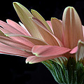 Delicate Petals. by Terence Davis