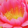 Delicate Pink Cactus Flower by Michelle Cassella