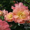 Delicate Pink Roses by Martha Burton