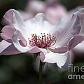 Delicate Pink by Sharon Elliott