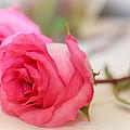 Delicate Rose by Mechala Matthews