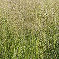 Delicate Tall Grasses by Barbara McMahon