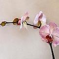 Delicate Pink Phalaenopsis Orchids by Susan Savad