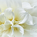 Delicate White Softness by Kaye Menner