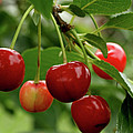 Delicious Cherries by Sandy Keeton