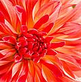 Delightful Dahlia by Jordan Blackstone