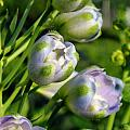 Delphinium Buds Blooming by Renee Croushore