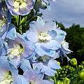 Delphinium With Cloud by Renee Croushore
