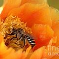 Desert Bee by K D Graves