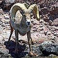 Desert Bighorn Sheep by David Salter
