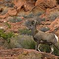 Desert Bighorn Sheep by Debby Richards