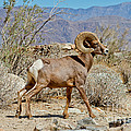 Desert Bighorn Sheep Ram At Borrego by Anthony Mercieca