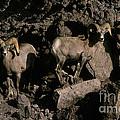 Desert Bighorns Ovis Canadensis Nelsoni by Ron Sanford