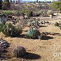 Desert Cactus Of Arizona  by Stanley Morganstein