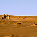 Desert Camels by Mick House