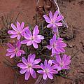 Desert Chicory Rafinesquia Neomexicana by Tim Fitzharris
