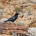 Jet Black Desert Dweller by Debbie Oppermann