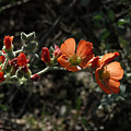 Desert Globemallow by Laurel Powell
