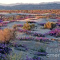 Desert In Bloom by Phyllis Kaltenbach