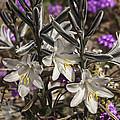 Desert Lilies by Lee Kirchhevel