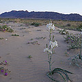 Desert Lily Sancturay by Susan Rovira