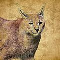 Desert Lynx by Steve McKinzie