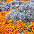 Desert Poppies And Sage by Dominic Piperata