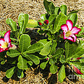 Desert Rose by Bob Phillips