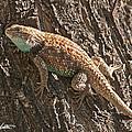 Desert Spiny Lizard by Stephanie Salter