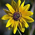 Desert Sunflower by Robert Bales