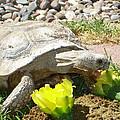 Desert Tortoise Delight by Donna Jackson