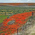 Desert Wildflowers by Howard Stapleton