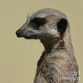 Desultory Meerkat by Paul Davenport
